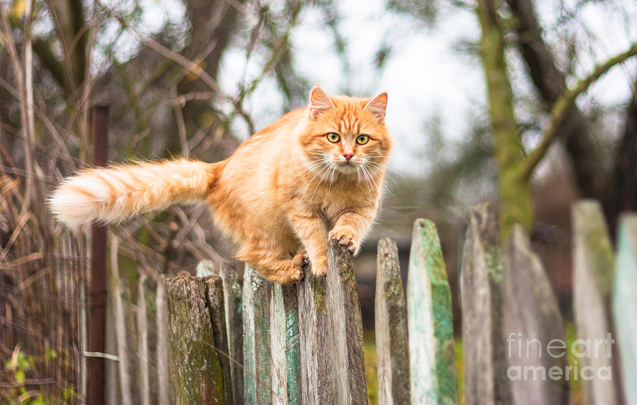 Small Photograph - Fluffy Ginger Tabby Cat Walking On Old by Lkoimages