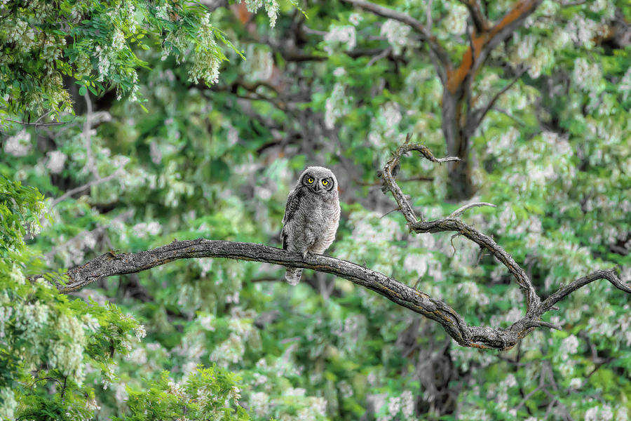 Fluffy Great Horned Owlet by Wes and Dotty Weber