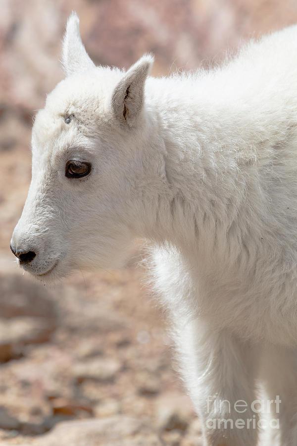 Fluffy Muntain Goat Kid Photograph