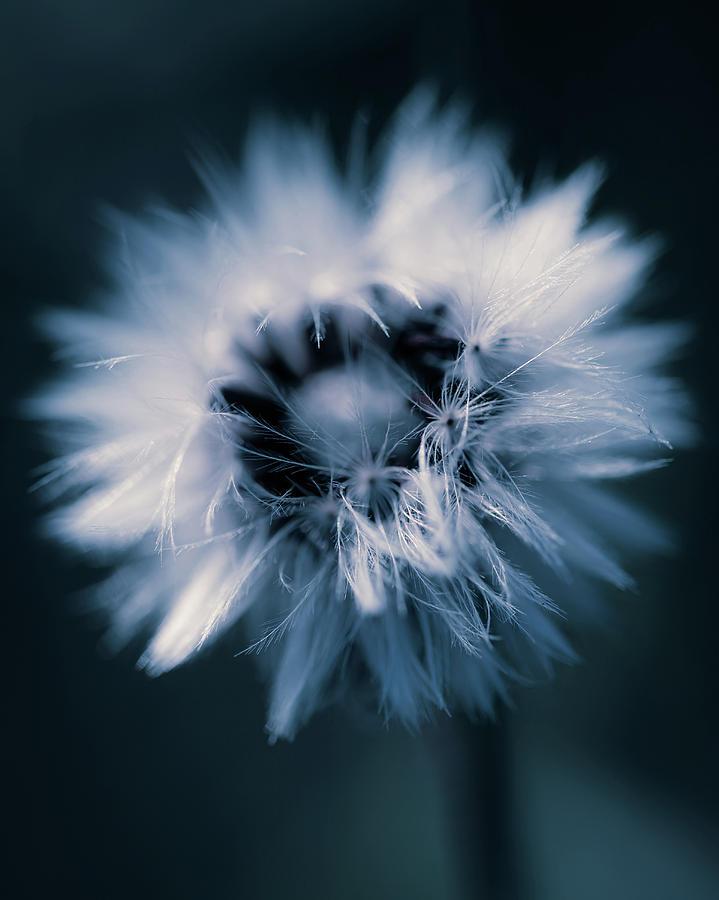 Fluffy Seed Head Photograph