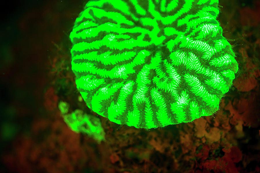 Asia Photograph - Fluorescence Emitted In Corals by Stuart Westmorland