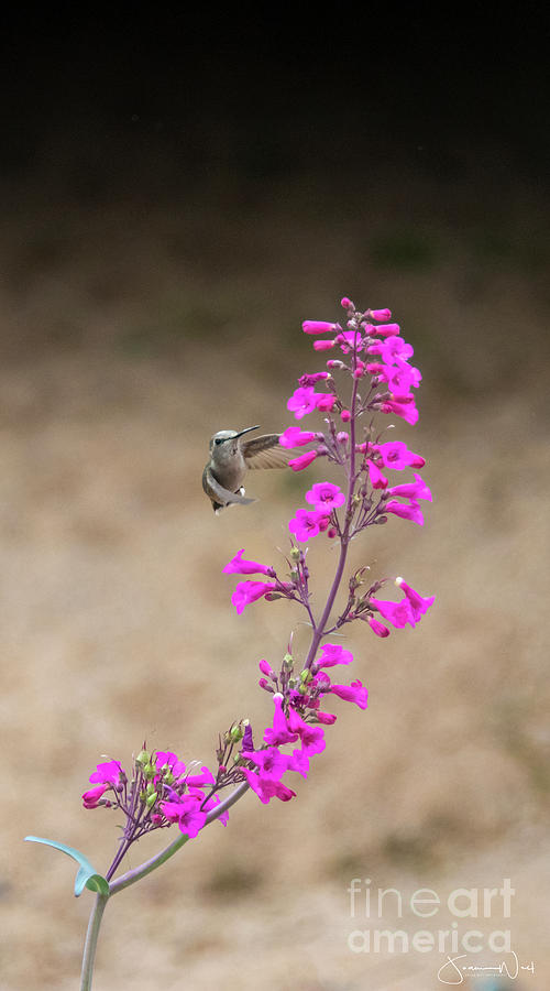 Fly-By Hummingbird by Joanne West