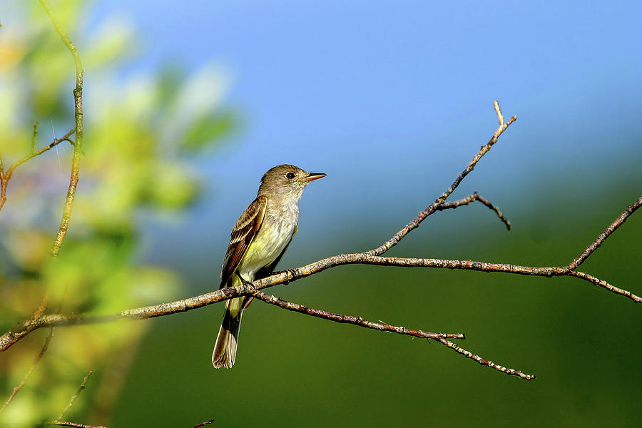 Flycatcher by Ronnie and Frances Howard