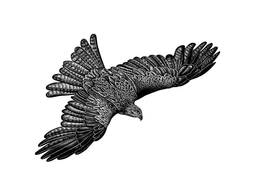 Black Kite Drawing - Flying black kite by Loren Dowding