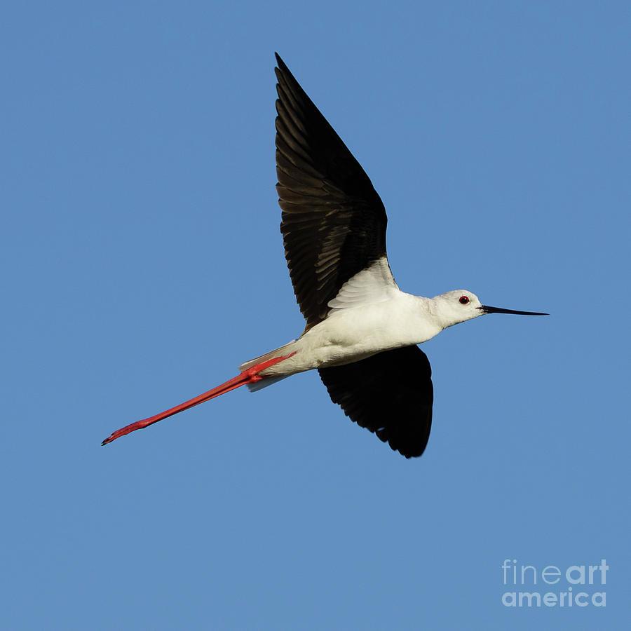 Flying Black-Winged Stilt with Blue Sky by Pablo Avanzini