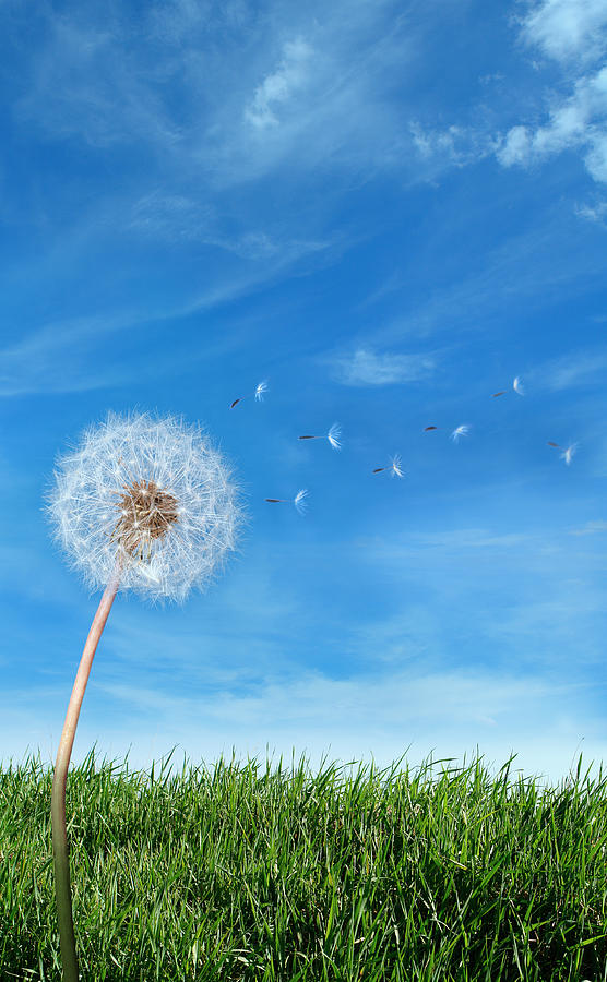 Flying Dandelion Seeds In The Wind Photograph by Narvikk