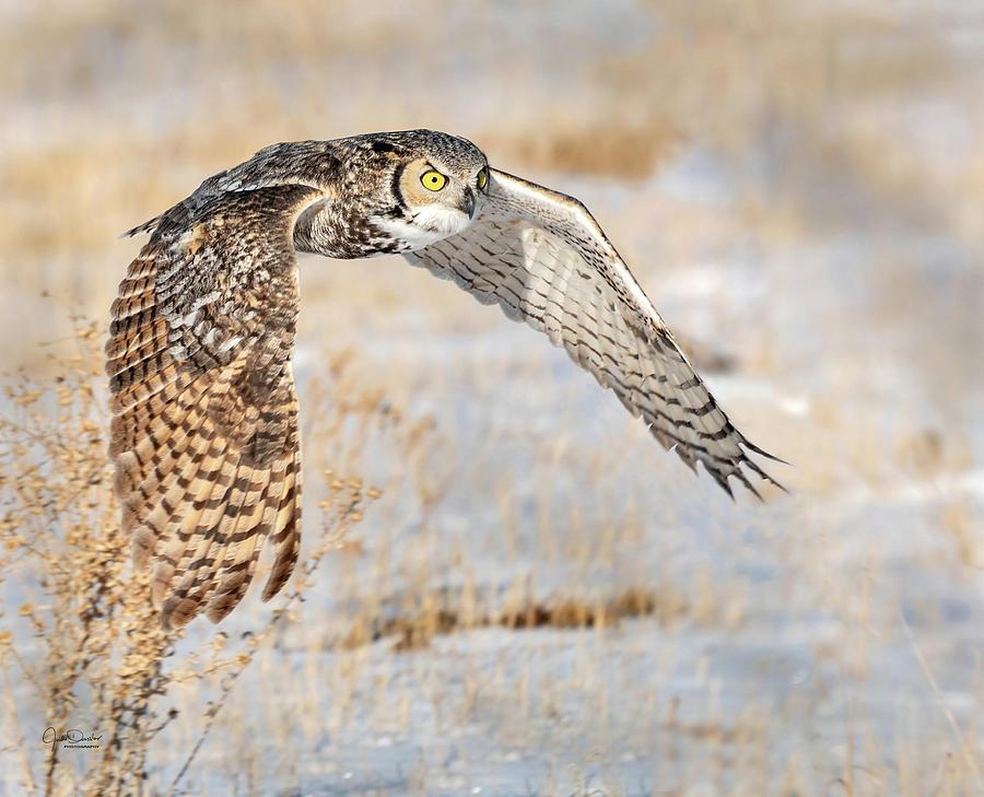 Flying Great Horned Owl by Judi Dressler