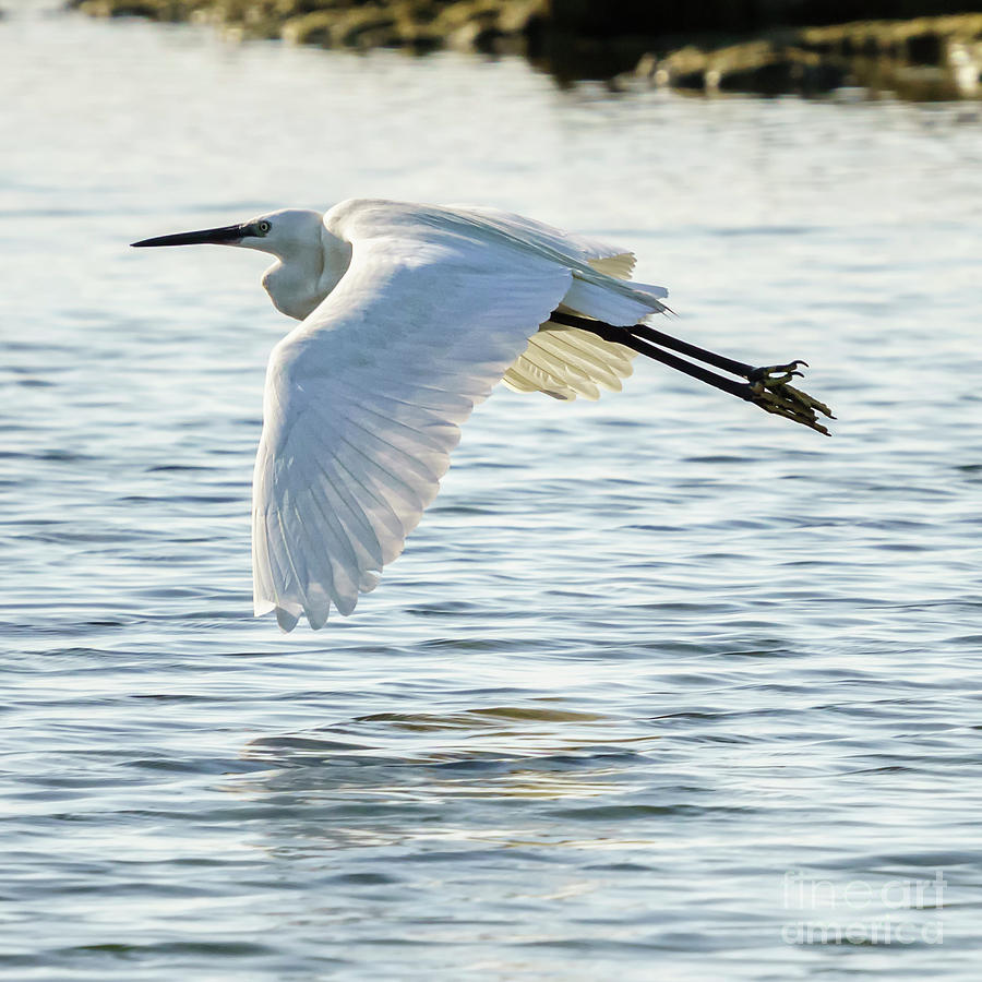 Flying Little Egret Egretta Garzetta by Pablo Avanzini