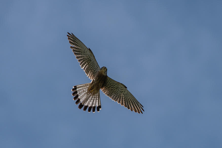Flying male Kestrel in the blue sky by Torbjorn Swenelius