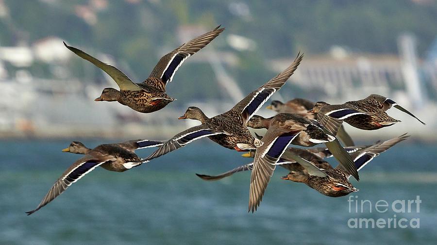 Flying Mallards Flock Mugardos Galicia Spain by Pablo Avanzini