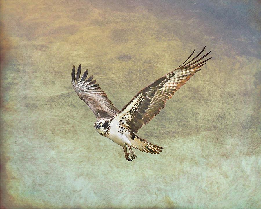 Flying Osprey by Jennifer Grossnickle