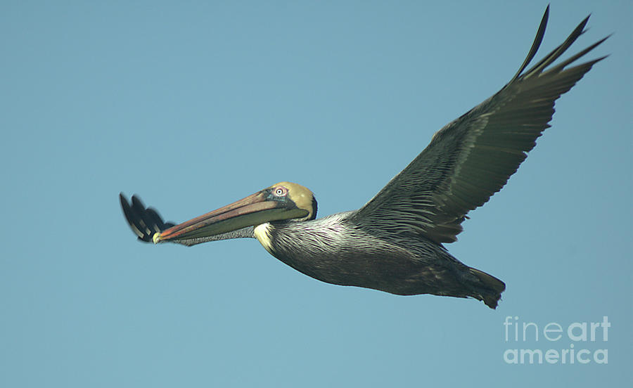Flying Pelican 3 by Steve Edwards