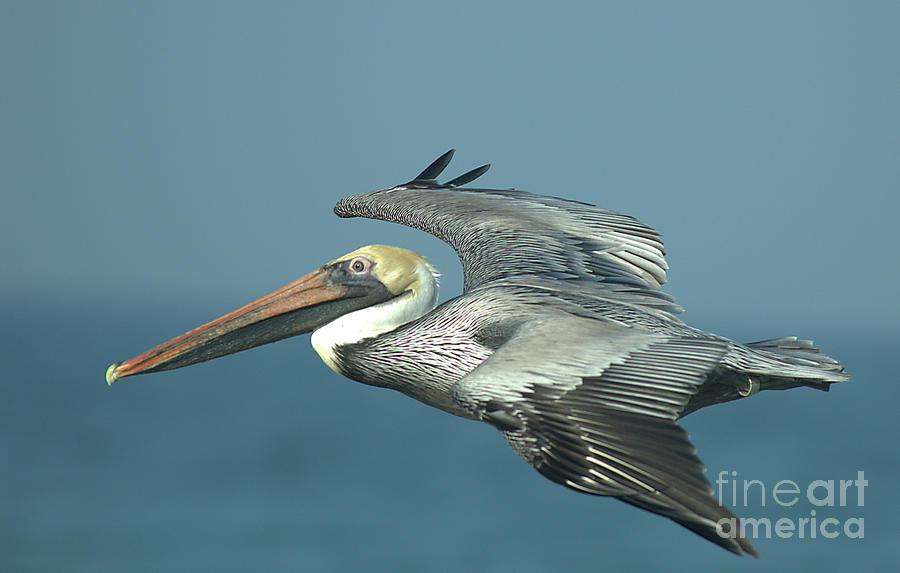 Flying Pelican 4 by Steve Edwards