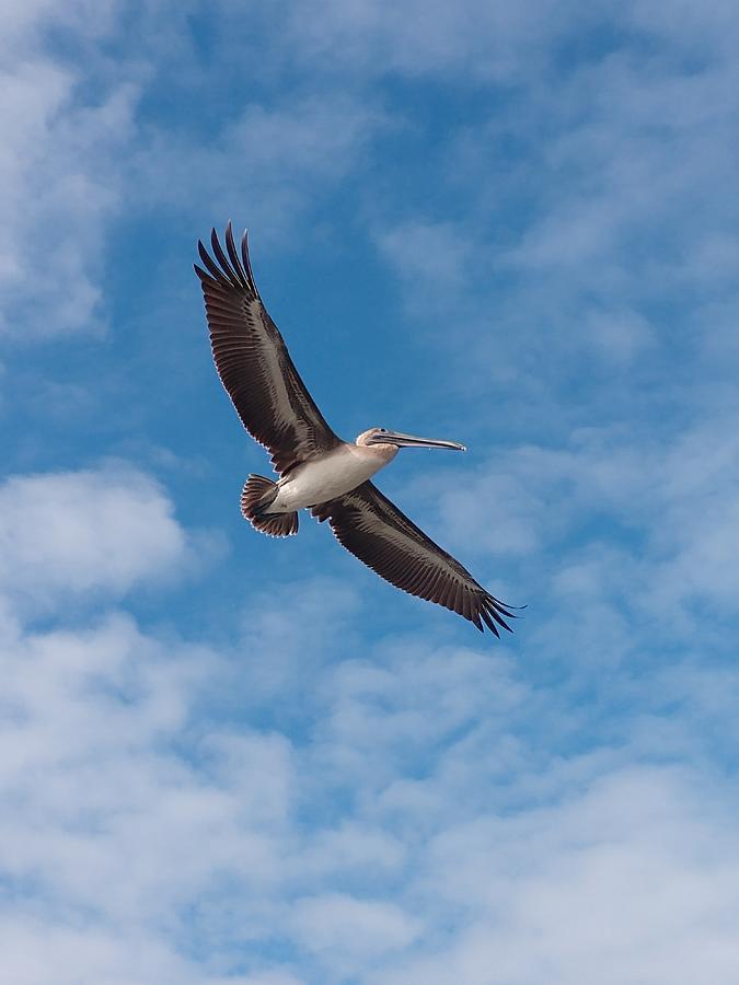 Flying Pelican Photograph