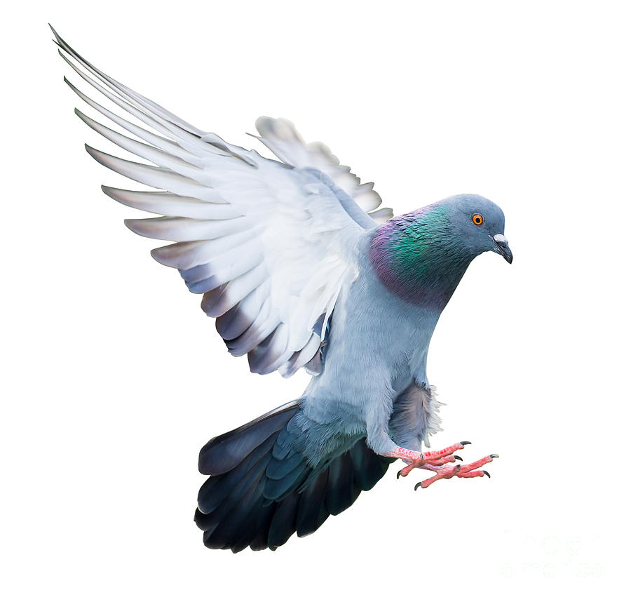 Pigeon Photograph - Flying Pigeon Bird In Action Isolated by Mrs ya