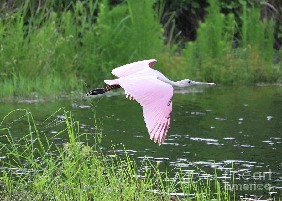 Flying Roseate Spoonbill by Carol Groenen