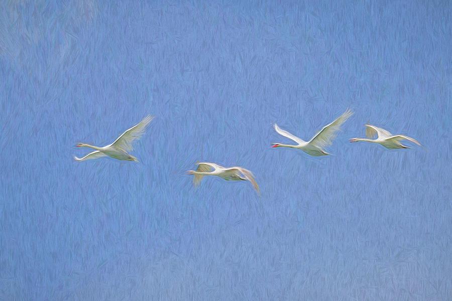 Swans In Flight Photograph - Flying Swans Art Imagery by David Pyatt