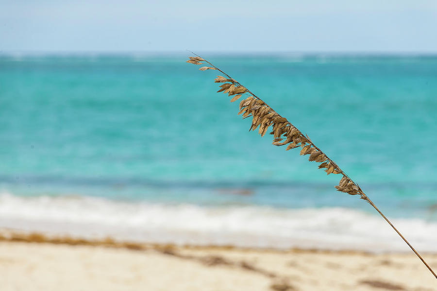 Focused beach grass blade in Turks and Caicos by Manny DaCunha