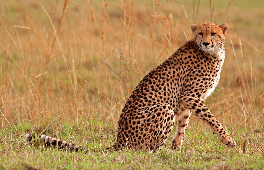 Focused Cheetah Photograph by Wldavies