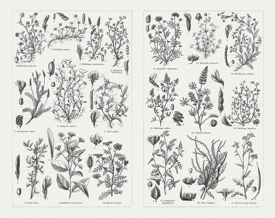 Fodder Plants, Wood Engravings Digital Art by Zu 09