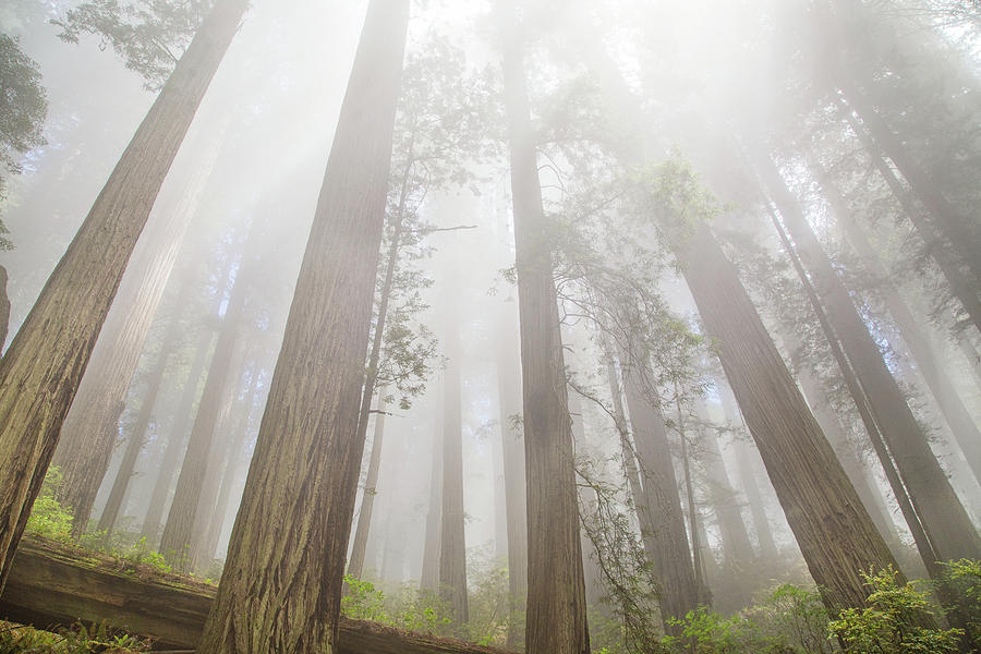 Fog in the redwoods by Kunal Mehra