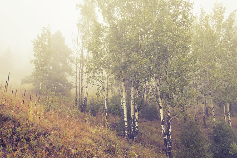 Foggy Colorado Aspen by Catherine Avilez
