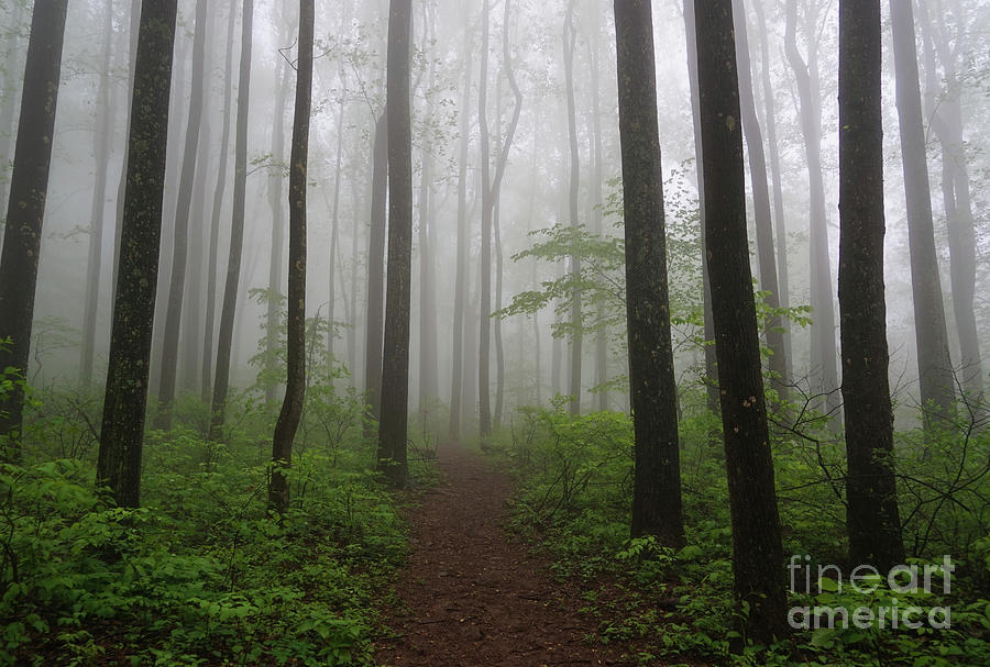 Foggy Spring Forest by Rachel Cohen