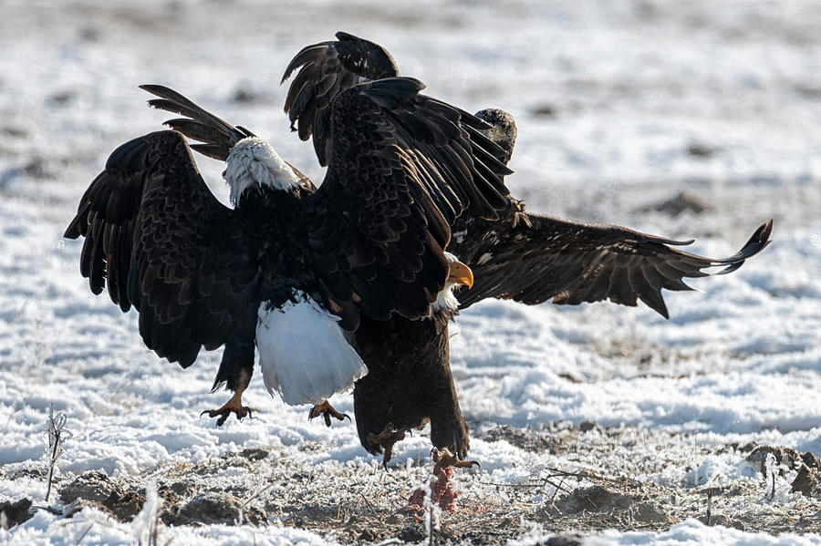 Eagle Photograph - Food Fight by Mike Dawson