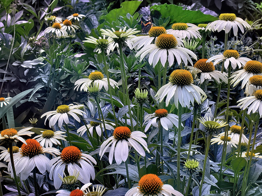 For the Coneflower Lovers by PAUL COCO