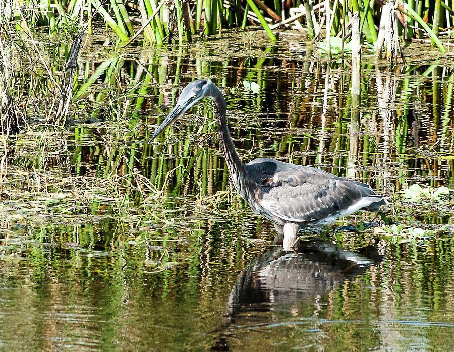 Tri-colored Heron Photograph - Foraging Tri-Colored Heron by Norman Johnson