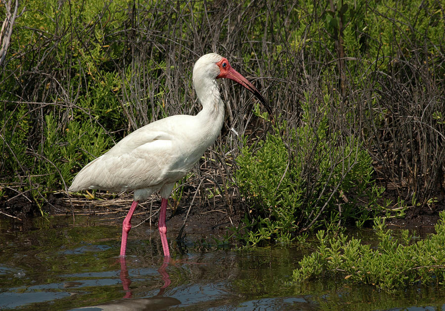 Foraging White Ibis by Betty Depee
