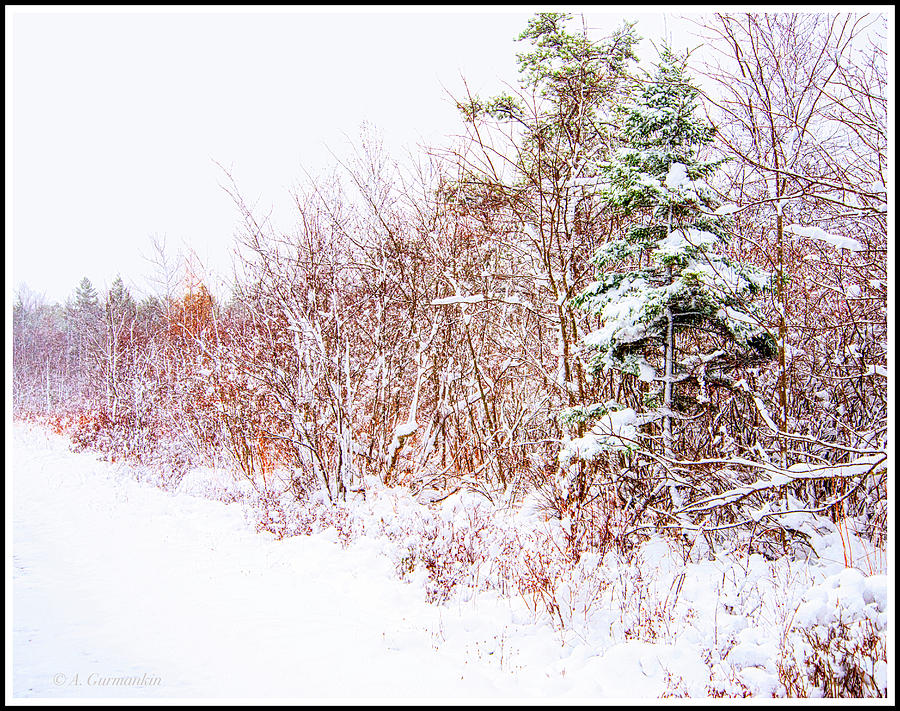Forest Edge Thicket in Winter by A Gurmankin