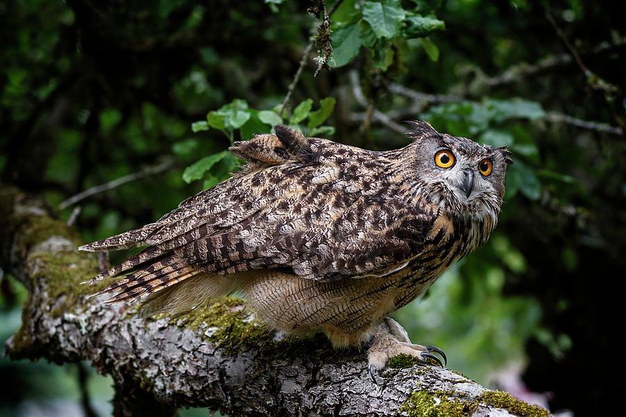 Forest Eurasian Eagle Owl Photograph