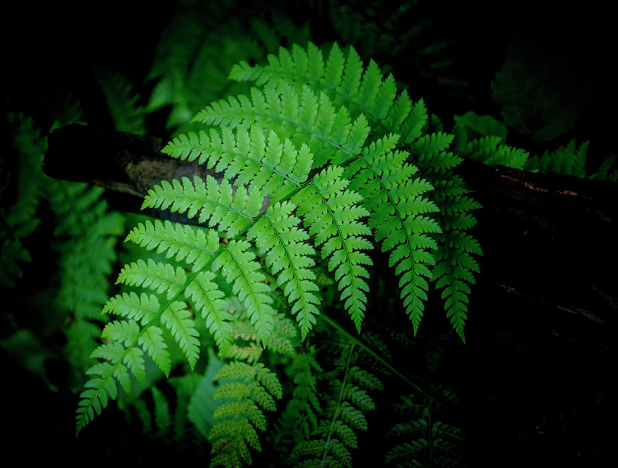 Forest Fern by Ronald Santini