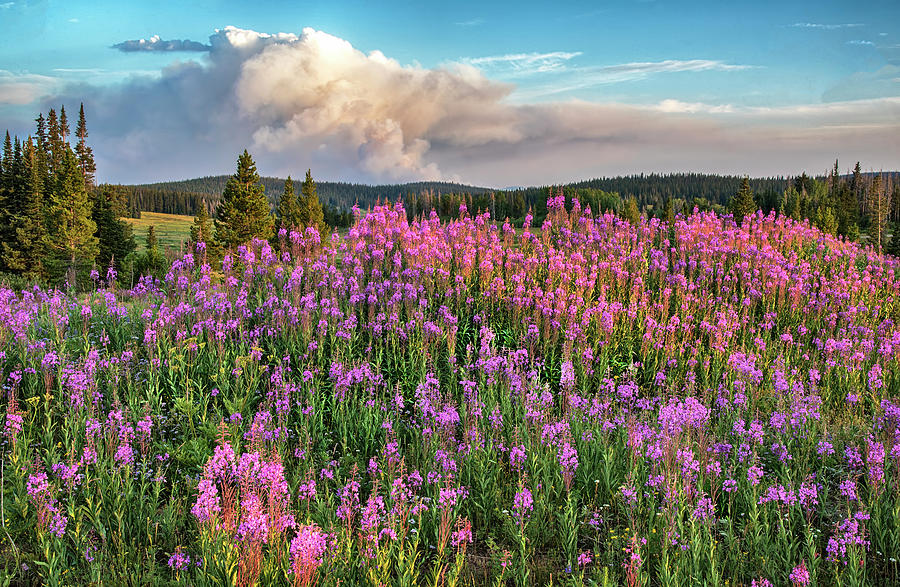 Forest Fire and Blooming Lupine near Steamboat Springs Colorado by Dave Dilli