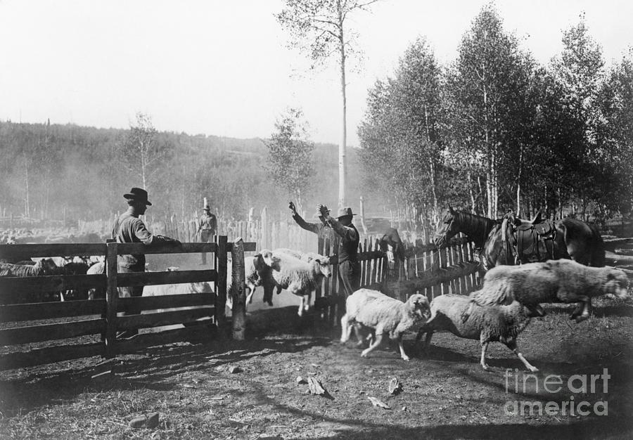 Forest Rangers At Work Counting Sheep Photograph by Bettmann