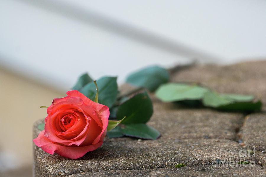 Forgotten Rose by Annerose Walz