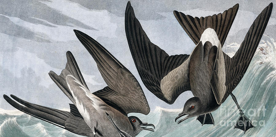 Webbed Feet Painting - Fork Tailed Petrel, Thalassidroma Leachii By Audubon by John James Audubon