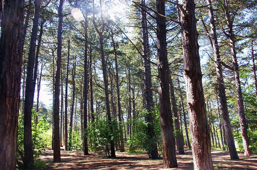 FORMBY. Woodland By The Coast by Lachlan Main