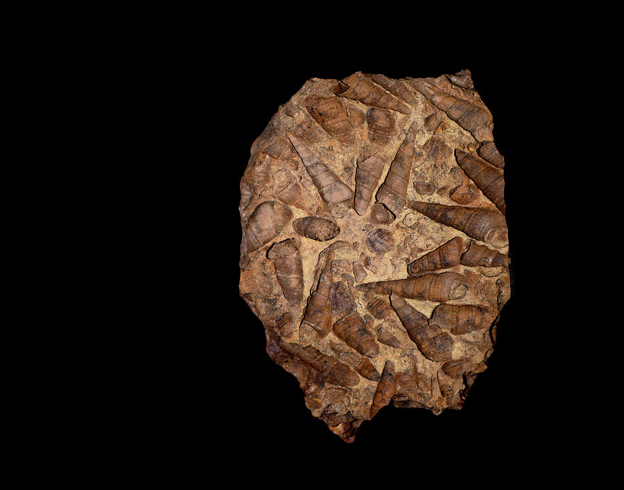 Fossil Photograph - Fossil by Stuart Harrison