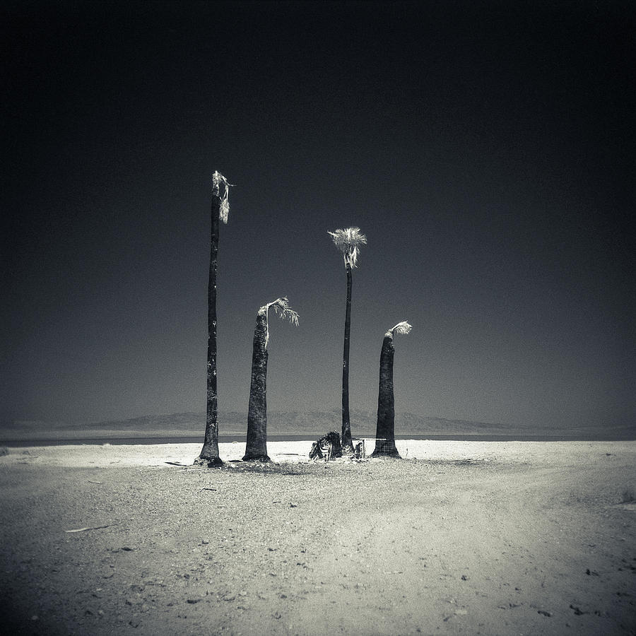 Four Burnt Palm Trees On The Salton Sea Photograph by David Teter