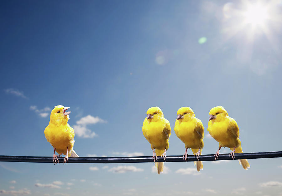 Four Canaries On Wire, One Bird Chirping Photograph by Pm Images