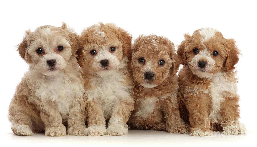 Four Cavapoochon puppies by Warren Photographic