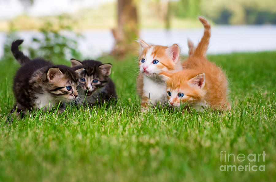 Small Photograph - Four Little Kittens Playing In Garden by Notaryes