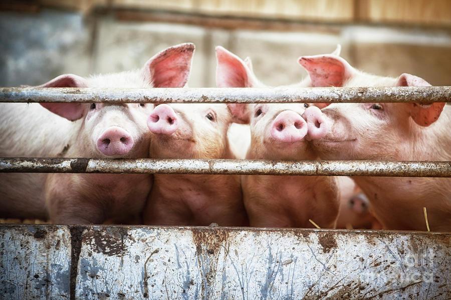 Four Little Pigs Photograph by T-lorien