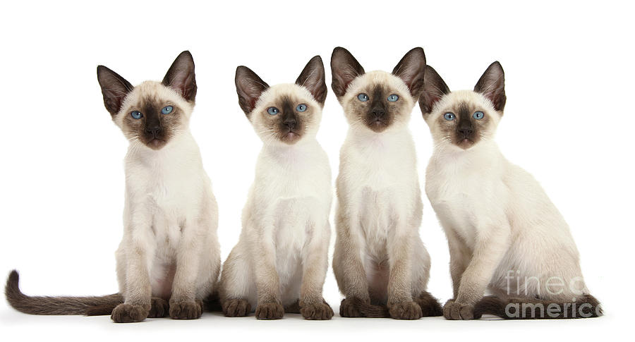 Four Siamese kittens by Warren Photographic