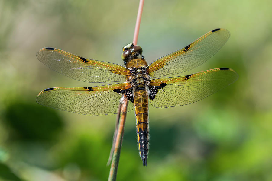 Four-spotted Skimmer by Robert Potts