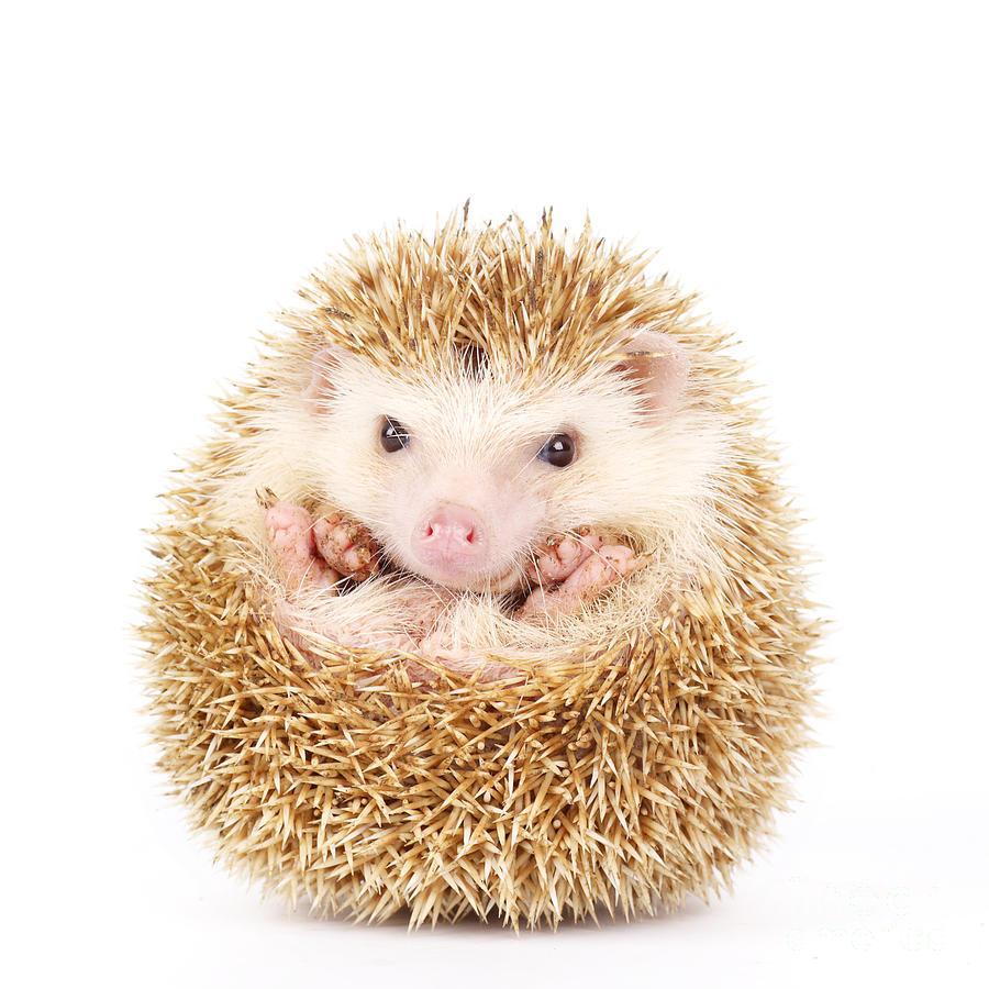 Studio Photograph - Four-toed Hedgehog, Atelerix by Kamonrat
