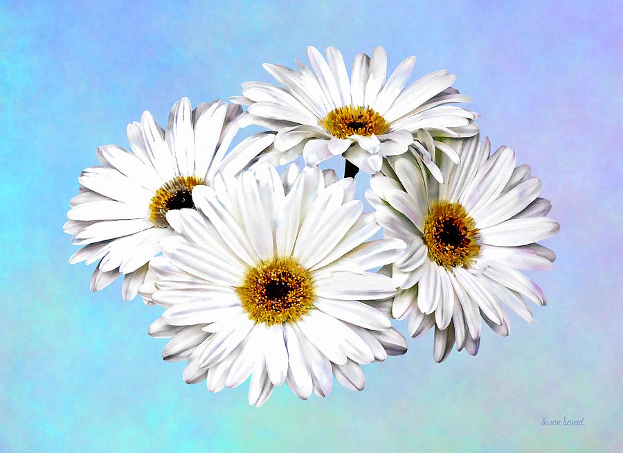 Four White Daisies by Susan Savad
