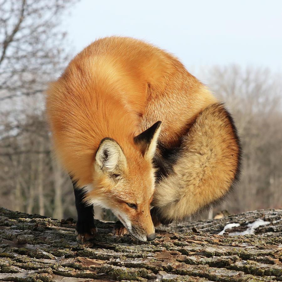 Fox Beauty by Doris Potter